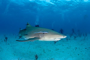 Lemon shark (Negaprion brevirostris) with accompanying Remoras watched by scuba divers, Northern Bahamas, Caribbean Sea, Atlantic Ocean. March 2009.  -  Franco  Banfi