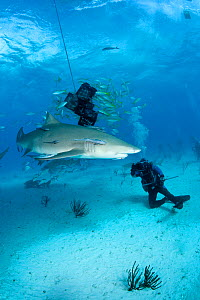 Scuba divers with Lemon shark (Negaprion brevirostris) attracted to bait, Northern Bahamas, Caribbean Sea, Atlantic Ocean. March 2009.  -  Franco  Banfi