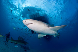 Lemon shark (Negaprion brevirostris) Northern Bahamas, Caribbean Sea, Atlantic Ocean - Franco  Banfi