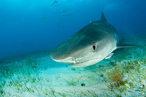 Tiger shark (Galeocerdo cuvier) Northern Bahamas, Caribbean Sea, Atlantic Ocean.  -  Franco  Banfi