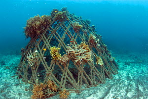 Corals attached to structure of bio-rock, a method of enhancing the growth of corals and aquatic organisms, Karang Lestari Pemuteran project, Desa Pemuteran, Bali Island, Indonesia, Pacific Ocean.  -  Franco  Banfi