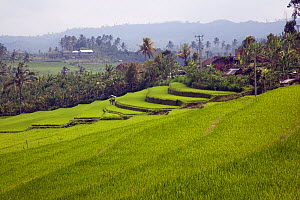 Rice paddy fields, Bali Island, Indonesia, Pacific Ocean  -  Franco  Banfi