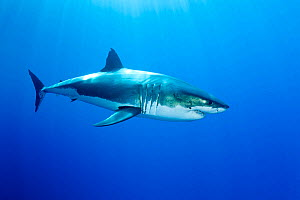 Great white shark (Carcharodon carcharias) Guadalupe Island, Mexico, Pacific Ocean.  -  Franco  Banfi