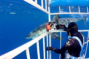 Scuba diver photographing Great white shark, (Carcharodon carcharias) from cage. Guadalupe Island, Mexico, Pacific Ocean. September 2011. - Franco  Banfi