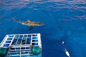 Great white shark (Carcharodon carcharias) swimming in front of scuba diving cages, Guadalupe Island, Mexico, Pacific Ocean. September 2011. - Franco  Banfi