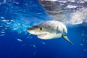 Great white shark (Carcharodon carcharias) Guadalupe Island, Mexico, Pacific Ocean. Vulnerable. - Franco  Banfi