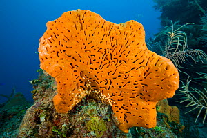Orange elephant ear sponge (Agelas clathrodes) Santa Lucia, Camaguey, Cuba, Caribbean Sea, Atlantic Ocean  -  Franco  Banfi