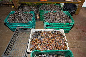 Fishing hooks confiscated from poachers, Wafer Bay ranger station, Chatham Bay, Cocos Island National Park, Costa Rica, East Pacific Ocean. September 2012. - Franco  Banfi