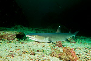 Whitetip reef shark (Triaenodon obesus) portrait, Cocos Island National Park, Natural World Heritage Site, Costa Rica, East Pacific Ocean - Franco  Banfi