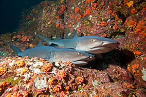 Whitetip reef sharks (Triaenodon obesus) two resting, Cocos Island National Park, Costa Rica, East Pacific Ocean - Franco  Banfi
