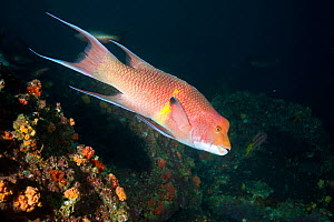 Mexican hogfish (Bodianus diplotaenia) Cocos Island  National Park, Costa Rica, East Pacific Ocean  -  Franco  Banfi