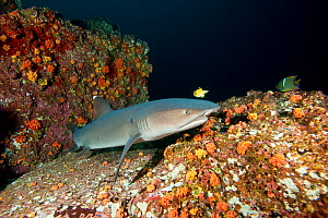 Whitetip reef shark (Triaenodon obesus) Cocos Island National Park, Costa Rica, East Pacific Ocean - Franco  Banfi