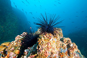 Crowned urchin (Centrostephanus coronatus) Cocos Island National Park,  Costa Rica, East Pacific Ocean  -  Franco  Banfi