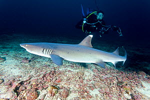 Scuba diver and Whitetip reef shark (Triaenodon obesus) Cocos Island National Park, Natural World Heritage Site, Costa Rica, East Pacific Ocean. September 2012. - Franco  Banfi