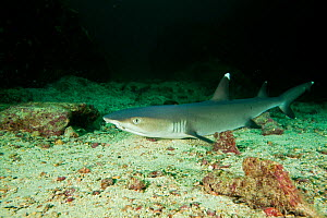Whitetip reef shark (Triaenodon obesus) portrait, Cocos Island National Park, Costa Rica, East Pacific Ocean  -  Franco  Banfi