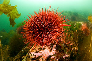 Giant red sea urchin (Strongylocentrotus franciscanus) Vancouver Island, British Columbia, Canada, Pacific Ocean  -  Franco  Banfi