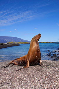 Galapagos sealion (Zalophus californianus wollebacki) hauled out, Punta Espinosa, Fernandina Island, Galapagos Islands, East Pacific Ocean  -  Franco  Banfi