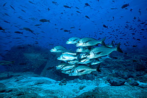 Shoal of Galapagos grunt (Orthopristis forbesi) Galapagos Islands, East Pacific Ocean. - Franco  Banfi