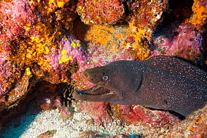 Fine spotted moray (Gymnothorax dovii) Darwin island, Galapagos Islands, East Pacific Ocean.  -  Franco  Banfi