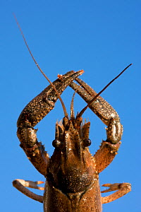 North American crayfish (Orconectes limosus) out of water, held against sky, Lake Lugano, Ticino, Switzerland  -  Franco  Banfi