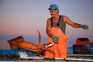 Mexican fisherman holds up a Humboldt squid (Dosidicus gigas) hand caught at night off Santa Rosalia, Sea of Cortez, Baja California, Mexico, East Pacific Ocean. August 2007. - Franco  Banfi