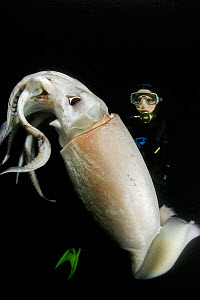 Scuba diver and Humboldt squid (Dosidicus gigas) at night off Loreto, Sea of Cortez, Baja California, Mexico, East Pacific Ocean. August 2007. - Franco  Banfi