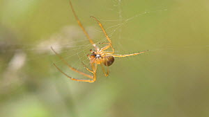 Male Garden spider (Araneus)  attaching silk to prey, England, UK, September. - James Dunbar