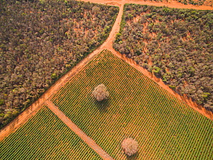 Aerial view of Sisal (Agave sisalana) plantation alongside spiny forest containing Octopus trees (Didiera madagascariensis) Berenty, Madagascar, October 2015. - Mark  MacEwen