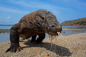 Komodo dragon (Varanus komodoensis) with tongue extended on beach, Komodo National Park, Indonesia. Vulnerable species. - Mark  MacEwen