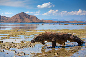 Komodo dragon (Varanus komodoensis) walking with tongue extended on beach,   found in the  islands of Komodo,  Indonesia. Vulnerable species. - Mark  MacEwen