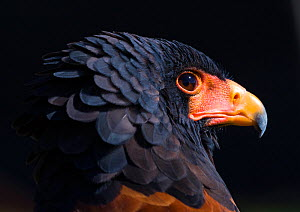Bateleur eagle (Terathopius ecaudatus) head portrait, Captive, occurs in Africa.  -  Juan  Carlos Munoz