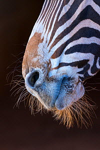 Grevy's zebra (Equus grevyi) close up of muzzle, Captive, occurs in Kenya and Ethiopia, Endangered species.  -  Juan  Carlos Munoz