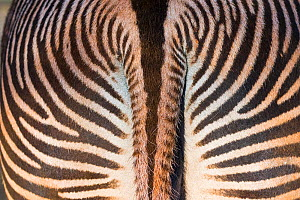 Grevy's zebra (Equus grevyi) close up of tail, Captive, occurs in Kenya and Ethiopia, Endangered species. - Juan  Carlos Munoz