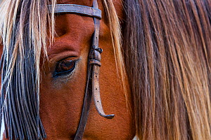 Close up of horse wearing bridle, Sierra de Gredos, Avila, Castile and Leon, Spain. - Juan  Carlos Munoz