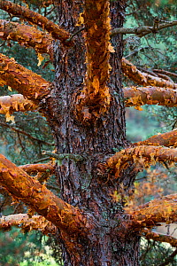 Scots pine (Pinus sylvestris) close up of trunk and branches with peeling bark, Sierra de Gredos, Avila, Castile and Leon, Spain, September 2015. - Juan  Carlos Munoz