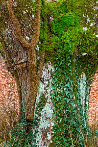 Close up of Oak (Quercus sp) trunk with Ivy (Hedera sp) and moss growing on it, Gobia Natural Park, Basque Country, Spain, March. - Juan  Carlos Munoz