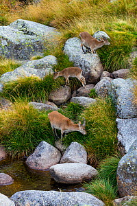 Three Iberian / Spanish ibex (Capra pyrenaica) feeding on long grass, including mother and baby, Sierra de Gredos, Avila, Castile and Leon, Spain, September. - Juan  Carlos Munoz