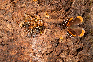 1526327 - - Honey bees (Apis melifera) bumblebees (Bombus) and Downy yellow jacket (Vespula flavopilosa) and  Red admiral butterfly (Vanessa atalanta) around alcoholic flux, a stress related disease t...  -  Doug Wechsler