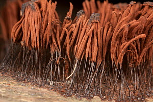 Chocolate tube slime mould (Stemonitis sporangia) Mohonk Reserve,  New York, USA, June. - Doug Wechsler