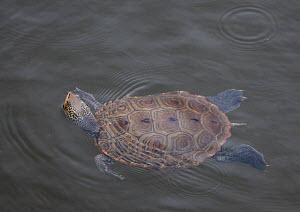 Diamondback terrapin (Malaclemys terrapin) swimming in salt marsh channel, The Glades Wildlife Refuge, New Jersey, USA, June.  -  Doug Wechsler