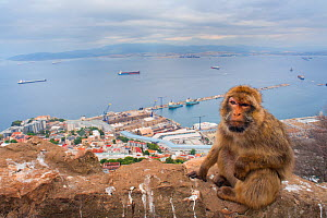 Barbary macaque (Macaca sylvanus) sitting with harbour of Gibraltar City in the background, Gibraltar Nature Reserve, Gibraltar, June. - Edwin  Giesbers