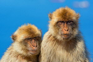 Barbary macaque (Macaca sylvanus) two sitting together, Gibraltar Nature Reserve, Gibraltar, June. - Edwin  Giesbers