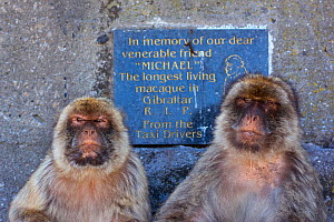 Barbary macaques (Macaca sylvanus) two sitting close together next to memorial sign for  'Michael' the longest living macaque in Gibraltar. Gibraltar Nature Reserve, Gibraltar, June. - Edwin  Giesbers