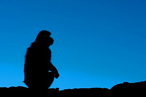 Barbary macaque (Macaca sylvanus) sitting, silhouetted against blue sky. Gibraltar Nature Reserve, Gibraltar, June.  -  Edwin  Giesbers