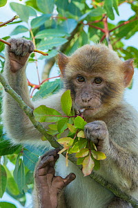 Barbary macaque (Macaca sylvanus) feeding on leaves, Gibraltar Nature Reserve, Gibraltar, June.  -  Edwin  Giesbers