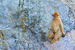 Barbary macaque (Macaca sylvanus) female resting on rock, Gibraltar Nature Reserve, Gibraltar, June.  -  Edwin  Giesbers