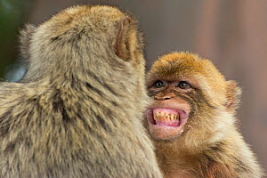 Barbary macaque (Macaca sylvanus) baring teeth as a sign of submission, Gibraltar Nature Reserve, Gibraltar, - Edwin  Giesbers