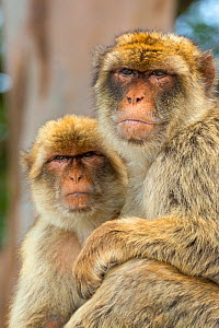 Barbary macaque (Macaca sylvanus) portrait of two sitting together, Gibraltar Nature Reserve, Gibraltar, June.  -  Edwin  Giesbers