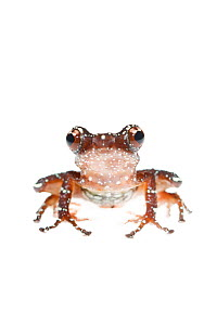 Painted Indonesian treefrog (Nyctixalus pictus) captive, occurs in South East Asia. - Edwin  Giesbers