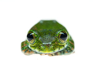 Yellow-spotted tree frog (Leptopelis flavomaculatus) portrait of juvenile, captive occurs in Africa. - Edwin  Giesbers